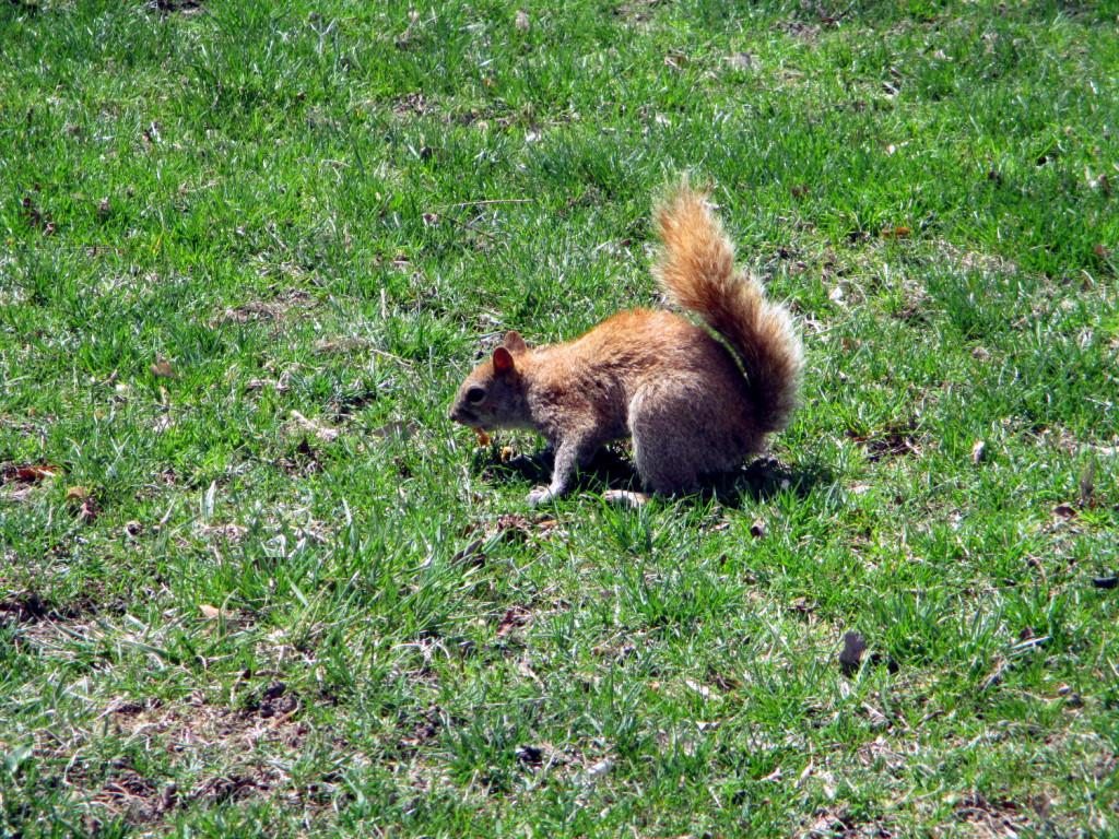 Un écureuil de Central Park.